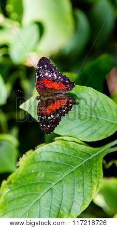 Red Markings On Butterfly