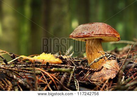 Bay bolete (Boletus badius, Xerocomus badius) in forest