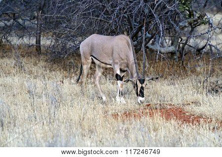 Oryx Gazella
