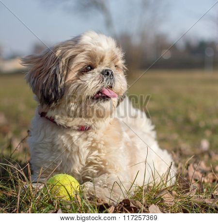 Shih Tzu With A Ball