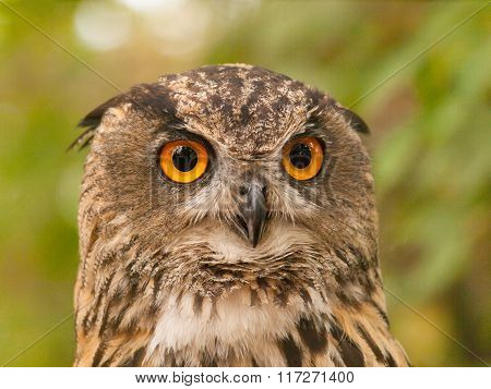 Portrait of eurasian eagle-fowl