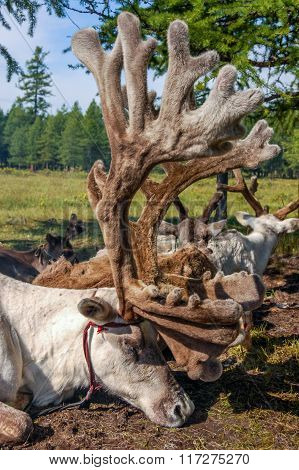 Tethered Reindeer In Northern Mongolia