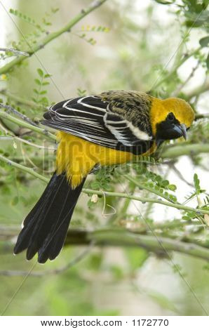 Hooded Oriole Pct5190