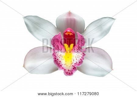 Beautiful white Cymbidium orchid flowers over withe background