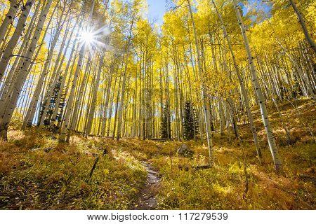 Sunburst In Autumn  Through An Aspen Grove Along Kebler Pass In Colorado