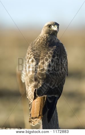 Red-Tailed Hawk Pct6042