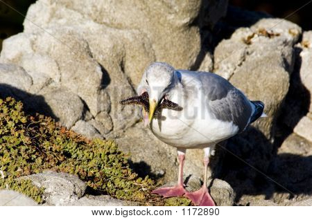 this is a photo of a western gull trying to eat a sea star. he's bitten off more than he can chew. poster