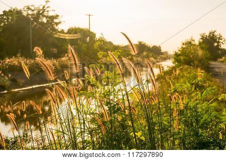 Foxtails grass under sunshine close-up selective focus