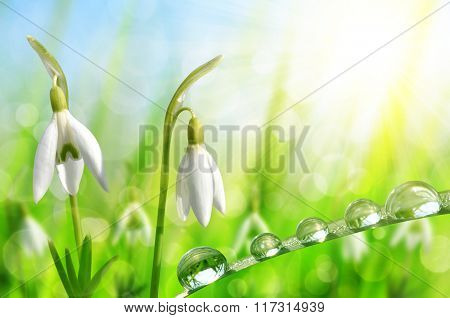 Snowdrop flowers with dewy grass on natural bokeh background. Spring season.