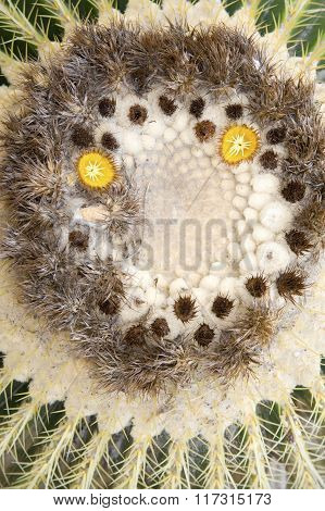 Cactus (top view). Shooting in the wild. poster
