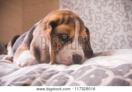 Cute beagle tricolour puppy