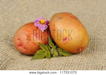 New Potatoes With Leaves And Flowers On Sackcloth