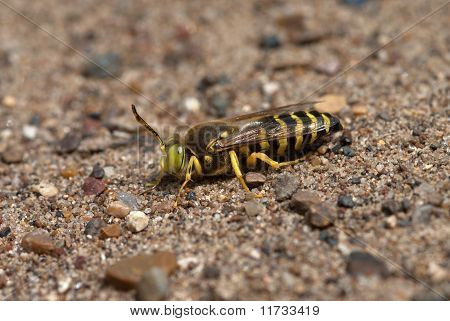 The Sand Wasp