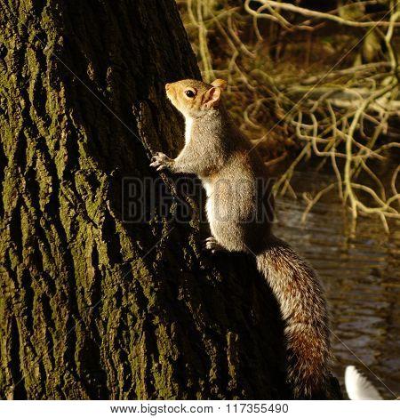 Grey Squirrel on Tree Trunk