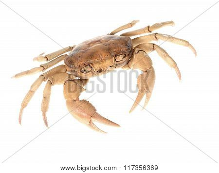 Dried Potamon sp. crab isolated over white background