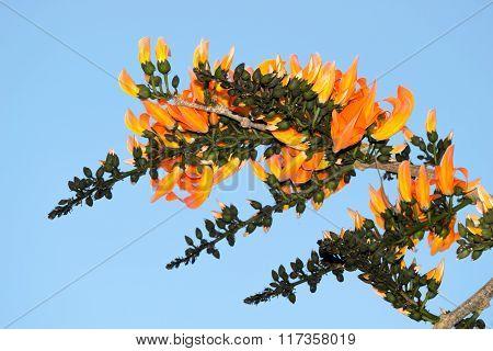Bastard Teak Or Bastard Teak - Orange Flowers Nature On Blue Sky