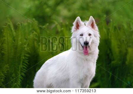 Beautiful fluffy white Swiss Shepherd. The dog stands in a field on a green background
