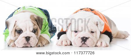 adorable english bulldog puppies laying on white background
