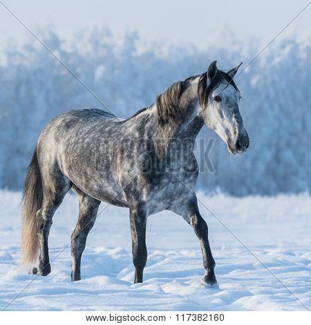 Dapple gray horse walks on the winter field