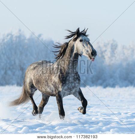 Funny dapple grey horse puts out tongue