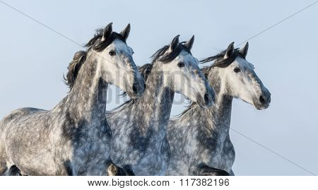 Three grey Andalusian stallions - portrait in motion