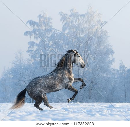 Rearing purebred Spanish horse on snowfield