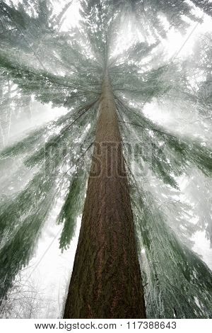 Worms eye view of an old spruce tree with cool light rays in winter creating a fascinating magical mood