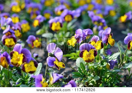 Purple and yellow heartsease flowers in a group on a flowerbed