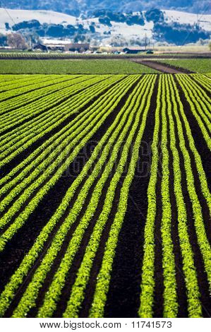 Rows of lettuce growing in the Parajo Valley of California poster