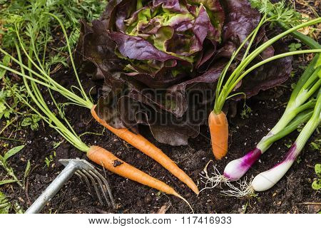 Harvest Of Vegetables In A Garden