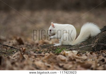 White Squirrel In Olney City Park