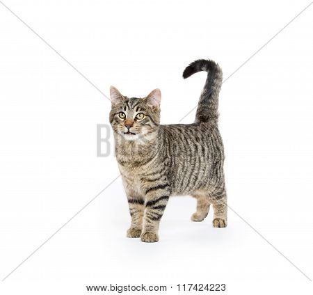 Cute Tabby Cat On White