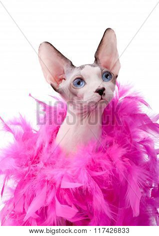 Canadian Sphynx cat wrapped in pink feather boa
