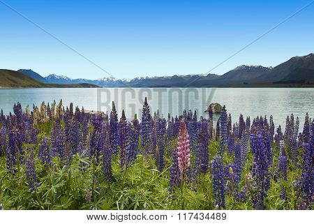 Lupins on Lake Tekapo, New Zealand