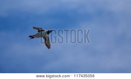 Common Murre Flying
