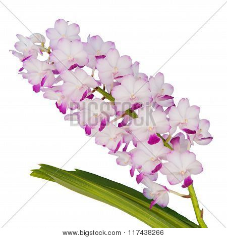 Beautiful white and pink orchids flower isolated on white.