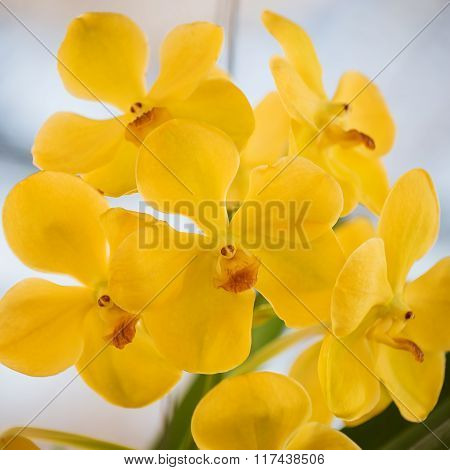Beautiful yellow orchids flower tree.