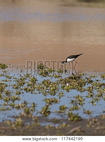 Black-necked stilt, Himantopus mexicanus