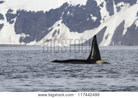 Killer Whale That Swimming In The Ocean On A Background Of Bering Island