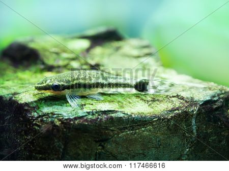 Otocinclus macrospilus vitattus fish. Armored oto catfish dwarf sucker. perfect algae eater. macro v