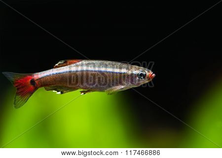 Macro view freshwater fish. White Cloud Mountain minnow. Freshwater aquarium tank scene. Swimming in