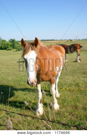 Curious Clydesdale