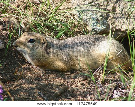 The gopher gets out of a hole - a photo 1