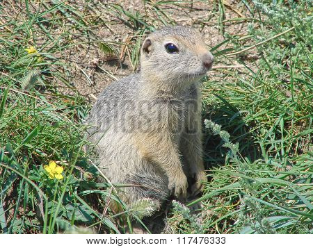The gopher sits on the earth among a grass and looks afar - a photo 6