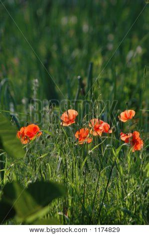 Poppy Flowers In Field