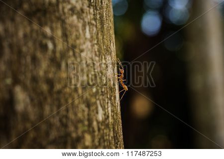 Weaver Ant Side View On Tree