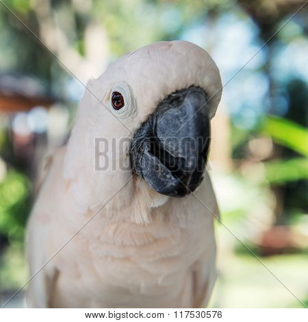 Close-up White Parrot At Bali Birds Park. Indonesia