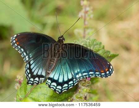 Red-spotted Purple Admiral butterfly resting on a Painted Nettle leaf in summer garden