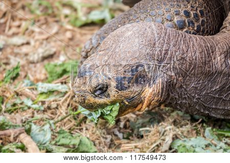 giant galapagos turtle eating leaves in floreana island ecuador closeup