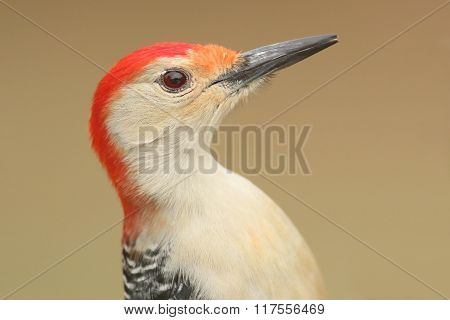 Male Red-bellied Woodpecker (melanerpes Carolinus)